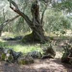 Древние оливы даруют острову пищу и тень.