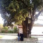 Тысячелетний кипарис св. Афанасия. Великая Лавра